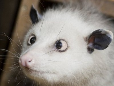 Cross-eyed opossum Heidi sits in her enclosure at Leipzig zoo in eastern